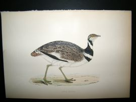Morris 1870 Antique Hand Col Bird Print. Little Bustard